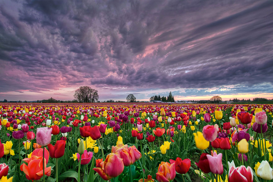 Image result for tulip fields holland