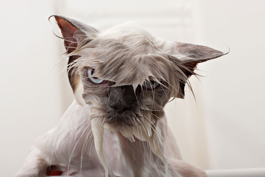 Image result for a wet, unhappy cat