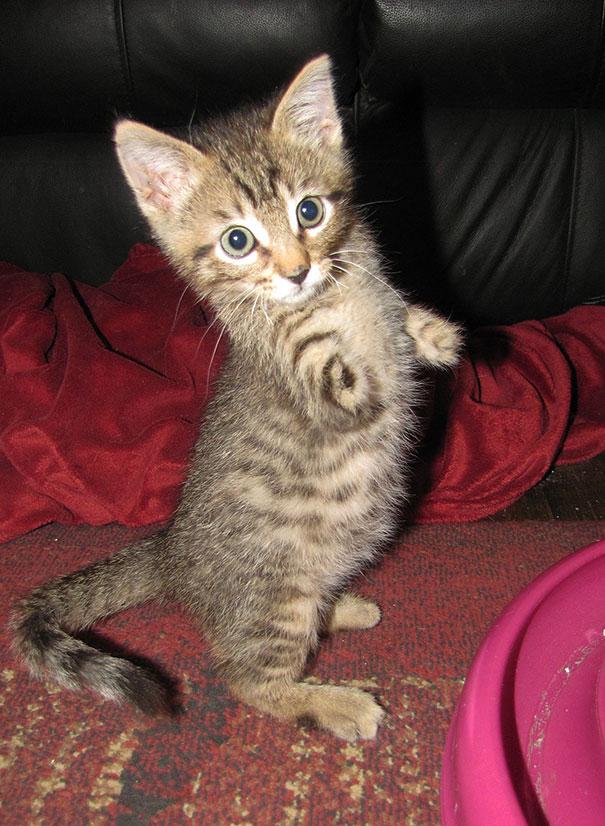 mercury-two-legged-kitten-24