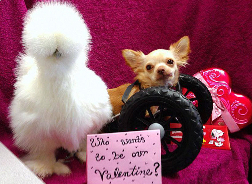 penny-chicken-roo-chihuahua-cute-friendship-12