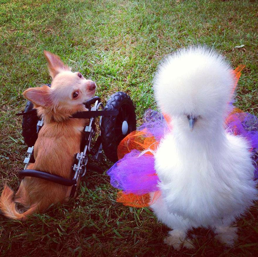 penny-chicken-roo-chihuahua-cute-friendship-13