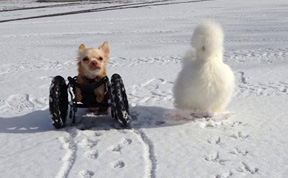 Fluffy Chicken Saved From Laboratory Becomes Best Friends With Abandoned Two-legged Chihuahua