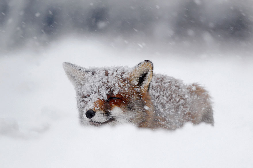 pictures of a red fox