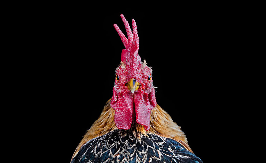 Warrior-Like Beauty Pageant Chickens In Beautiful Photos By Ernest Goh