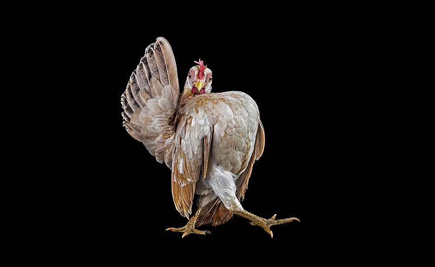 ayam-seramas-chicken-photography-ernest-goh-7