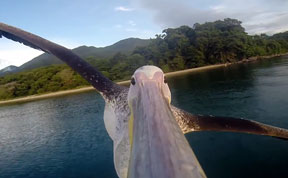 Rescued Pelican Learns To Fly With GoPro On Beak (VIDEO)