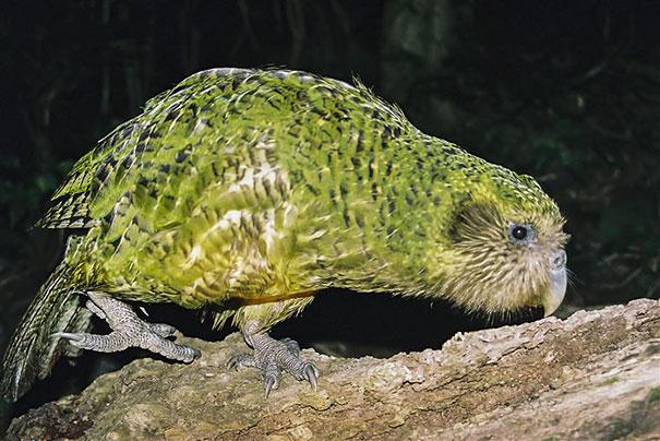 crushed-egg-repair-rare-parrot-lisa-one-kakapo-10