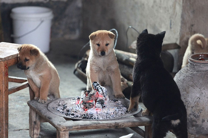 cute-puppies-barking-cold-stove-4