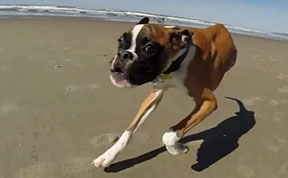 Two-Legged Dog's First Visit To The Beach Proves That Nothing Is Impossible