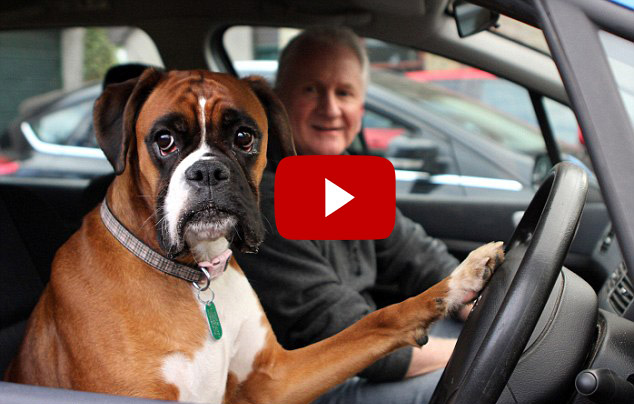 Dog Tells Owners It's Time To Go By Slamming On Car Horn For 15 Minutes (VIDEO)