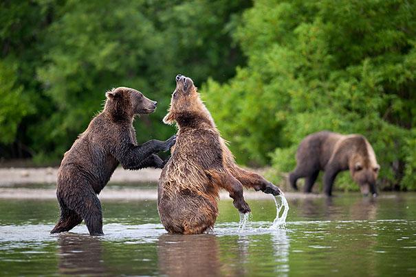 funny-bears-doing-human-things-12