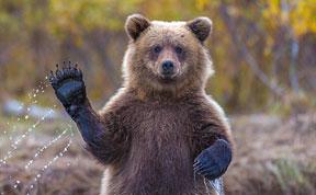 Bears Doing Human Things