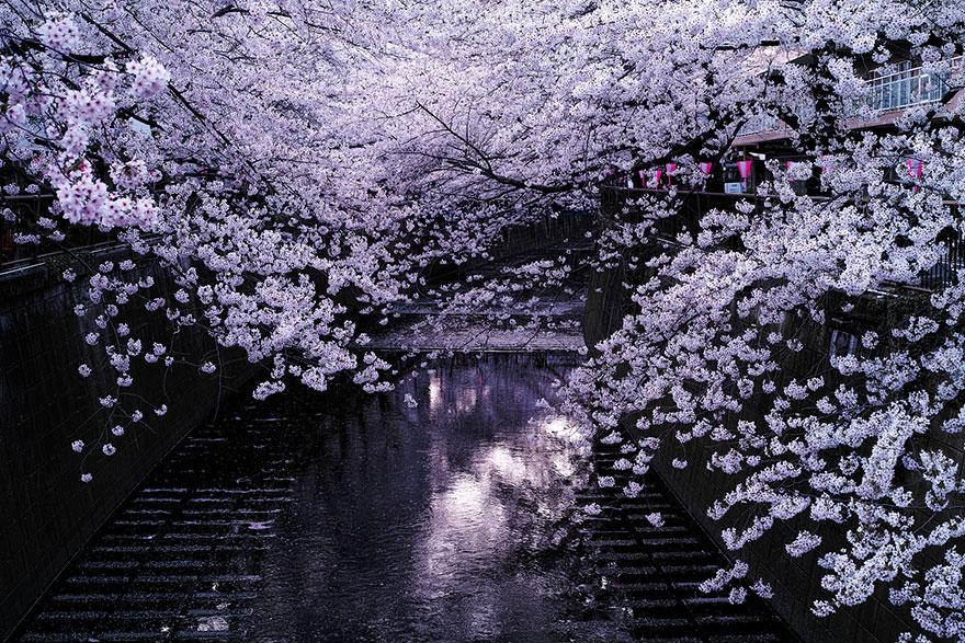 flor de cerezo-sakura-1
