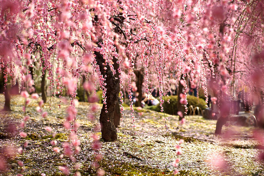 of the most beautiful japanese cherry blossom photos of, Natural flower