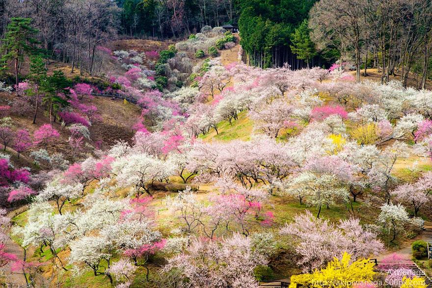 flor de cerezo-sakura-18