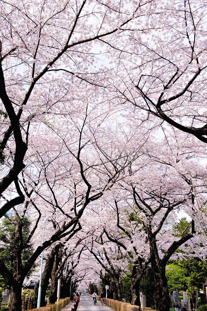 21 of the most beautiful japanese cherry blossom photos of 2014 bored panda - Japanese Garden Cherry Blossom Paintings