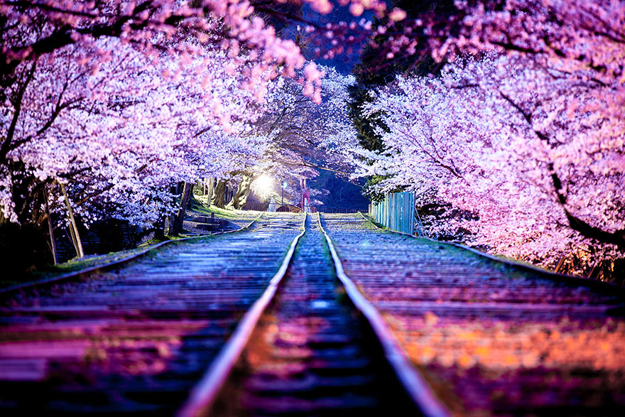 21 Of The Most Beautiful Anese Cherry Blossom Photos 2017 Bored Panda