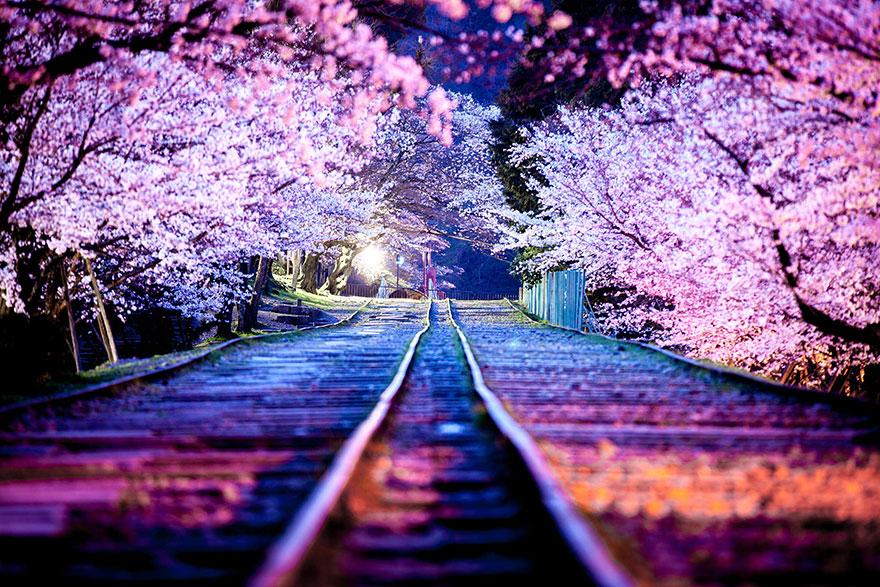 Cherry blossom sakura 3