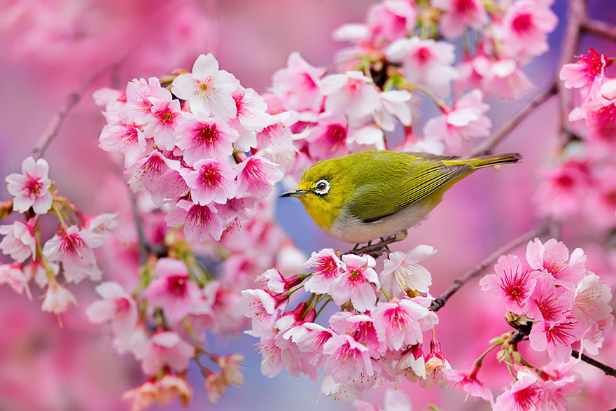 21 of the most beautiful japanese cherry blossom photos of 2014 image credits sue hsu mightylinksfo