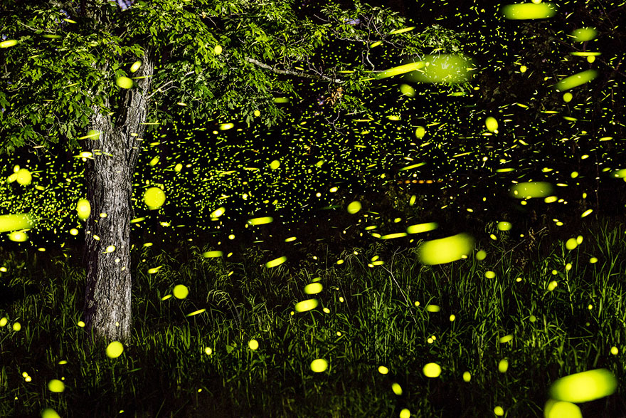 fireflies-time-lapse-photography-vincent-brady-5