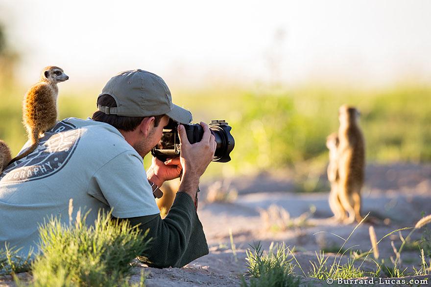 meerkats-human-lookout-post-photography-will-burrard-lucas-1