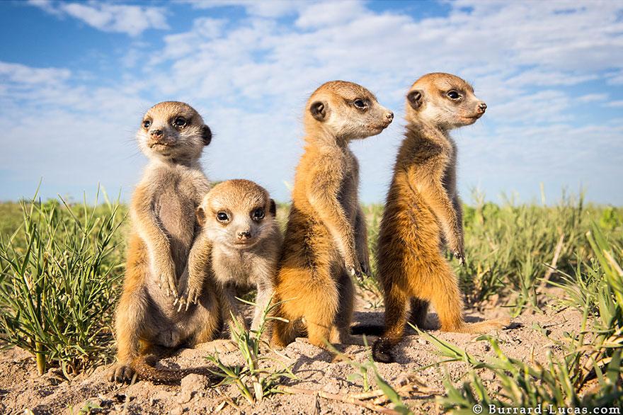 meerkats-human-lookout-post-photography-will-burrard-lucas-5