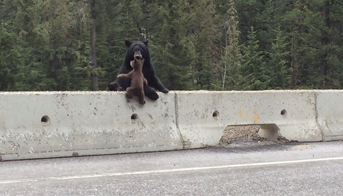 Momma Bear Rescues Her Little Cub From A Busy Highway (VIDEO)