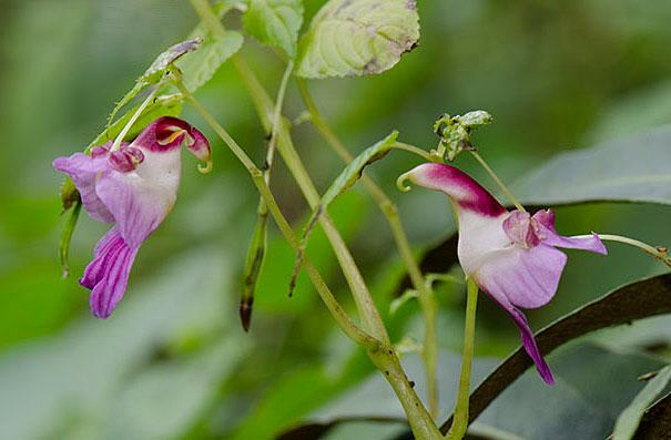 flowers-look-like-animals-people-monkeys-orchids-pareidolia-25