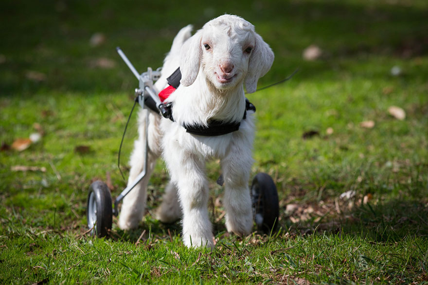 frostie-snow-goat-wheelchair-edgars-mission-7