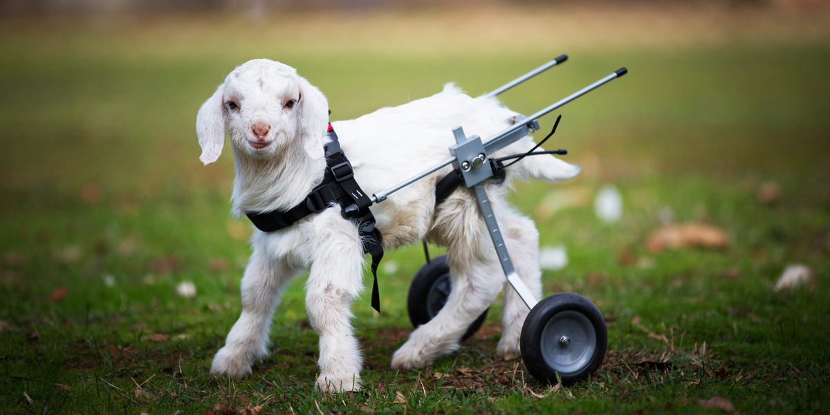 Frostie The Adorable Baby Goat Takes First Steps With Tiny Wheelchair