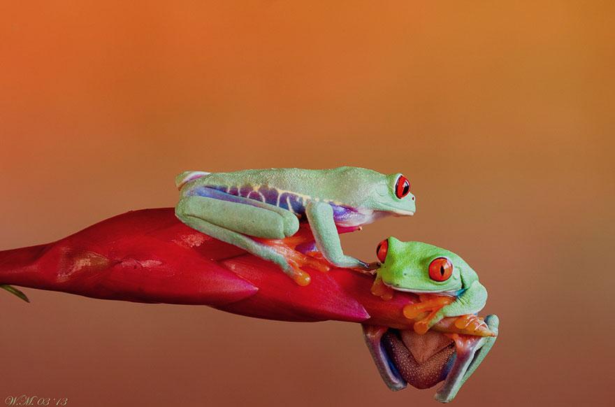 macro-frogs-wil-mijer-8