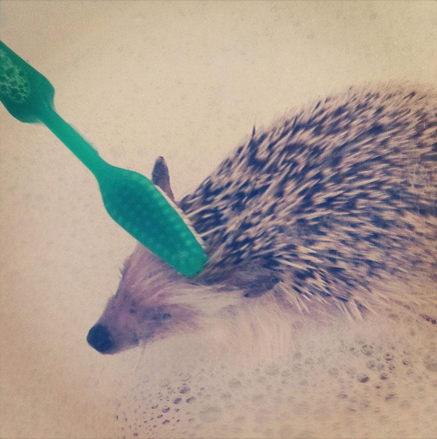 norman-cute-hedgehog-brett-jessie-20
