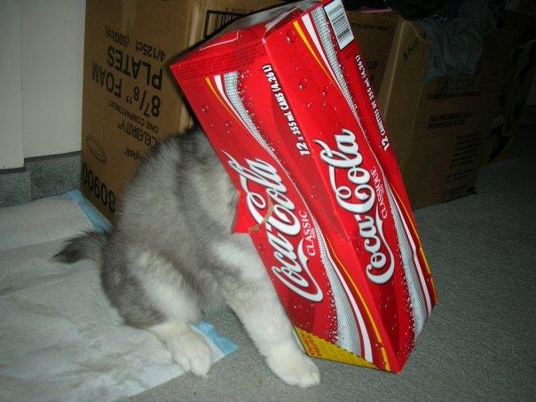 tally-husky-dog-raised-by-cats-21