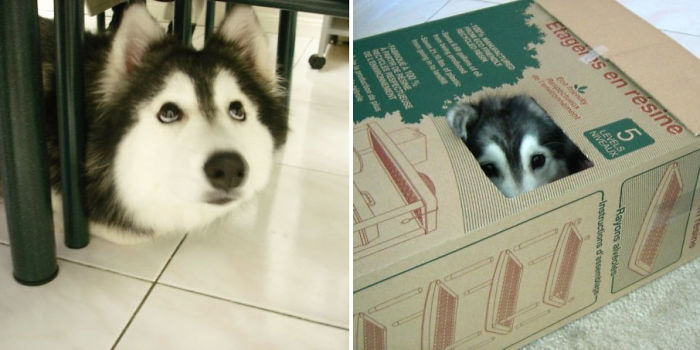 This Husky Raised By Cats Acts Like A Cat Bored Panda