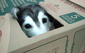 This Husky Raised By Cats Acts Like A Cat