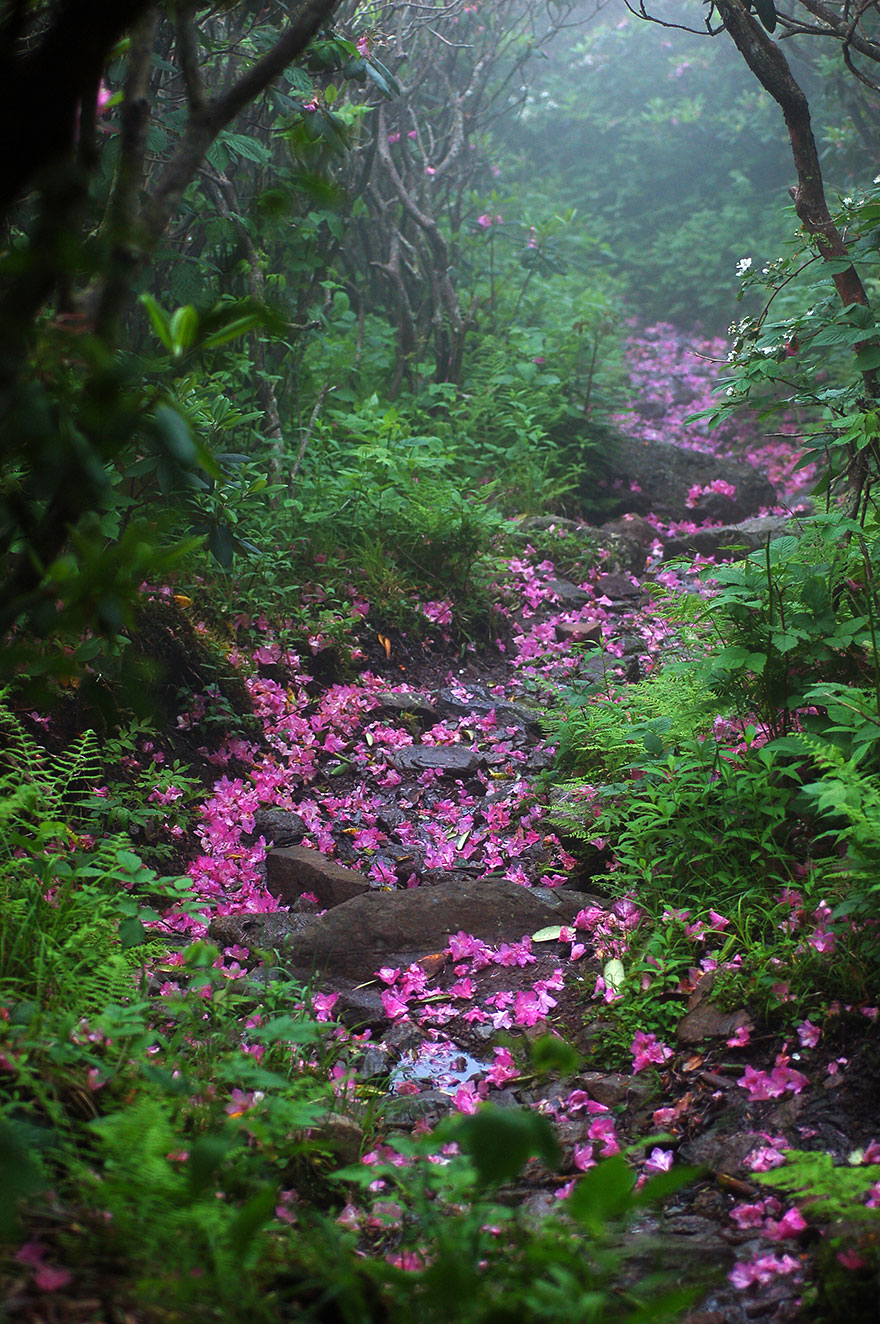 28 magical paths begging to be walked bored panda rhododendron laden path mount rogers virginia usa izmirmasajfo