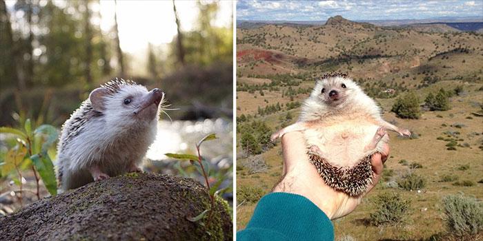 Meet Biddy, The Travelling Hedgehog
