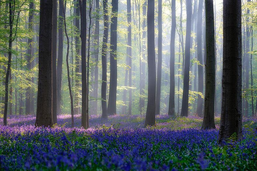 Image result for hallerbos forest