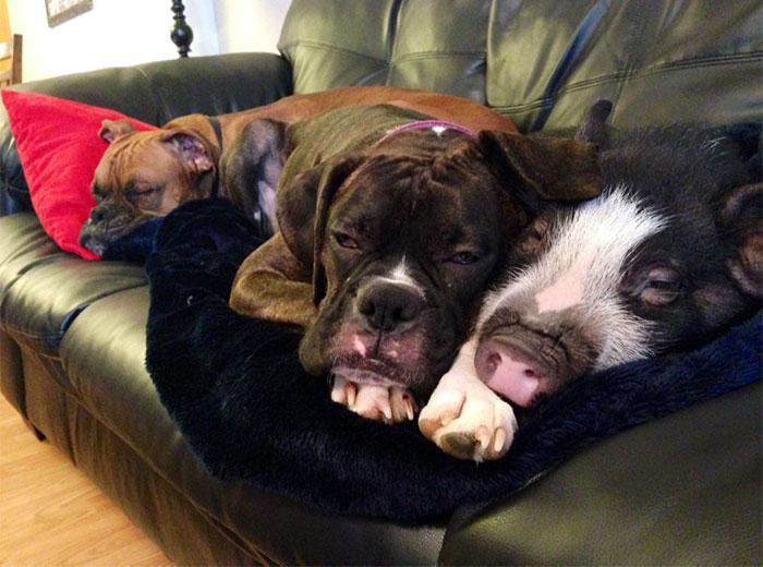 Cat Dog And Pig Together