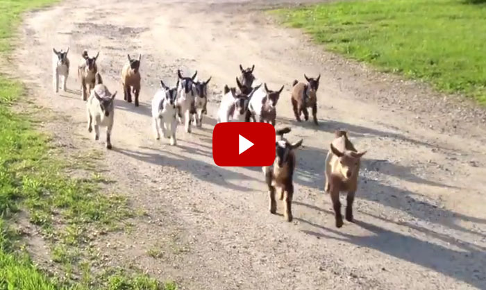 44 Happy Baby Goats Going For Their Evening Run At Sunflower Farm