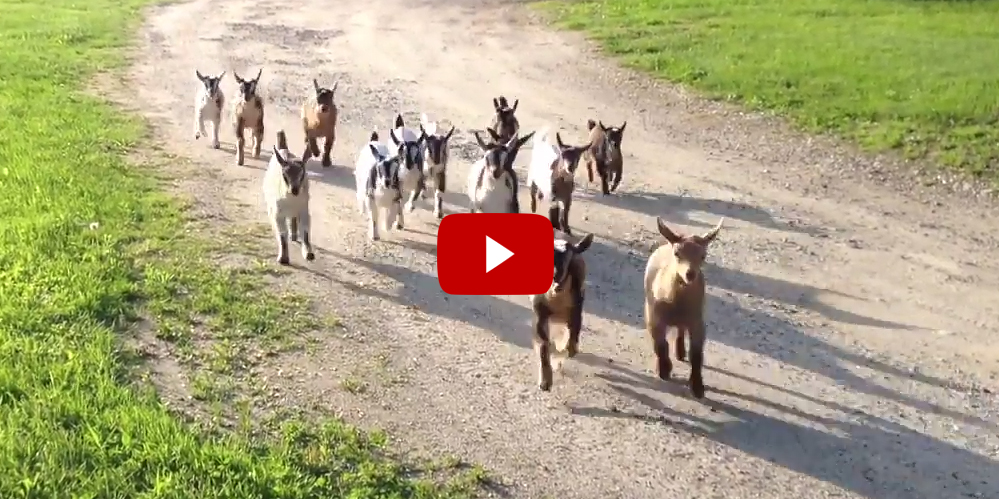 44 Happy Baby Goats Going For Their Evening Run At
