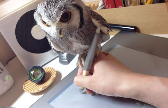 Northern White-faced Owl Helps Its Owner Draw