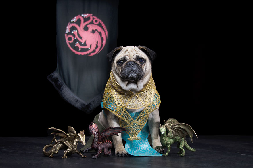 The Pugs Of Westeros: Three Pugs Re-enact Game Of Thrones ... Pug Game Of Thrones