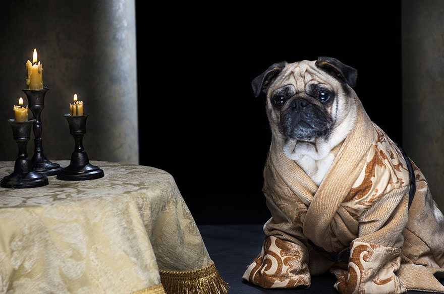 The Pugs Of Westeros Three Pugs Re Enact Game Of Thrones
