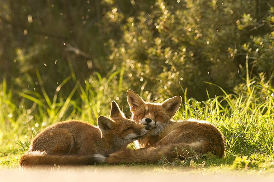 foxes-roeselien-raimond-11