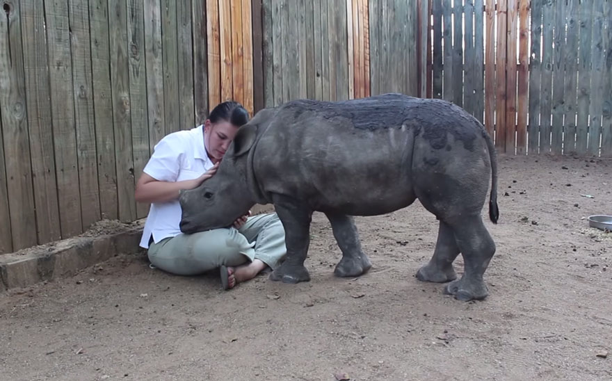 gertje-baby-rhino-rescue-hoedspruit-endangered-species-centre-1