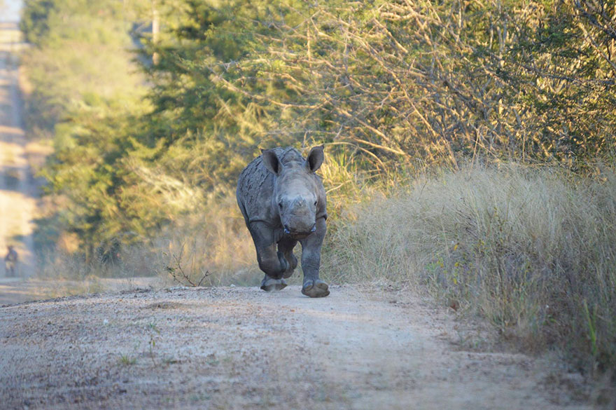 gertje-baby-rhino-rescue-hoedspruit-endangered-species-centre-2