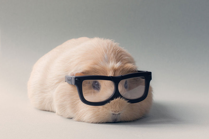 Booboo And His Friends Are The Most Adorable Guinea Pigs On The