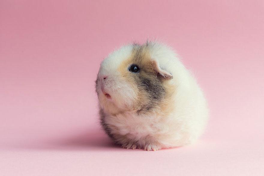 guinea-pig-booboo-lieveheersbeestje-4