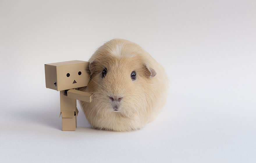 how to get a shy guinea pig to like you